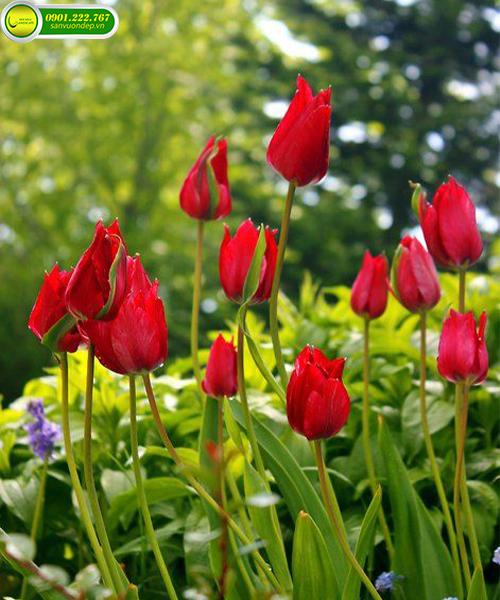 hoa tulup đỏ